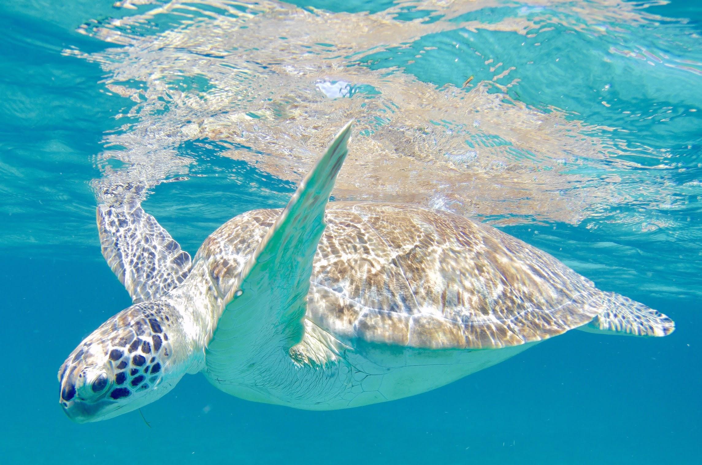 Turtle St. Thomas.jpg